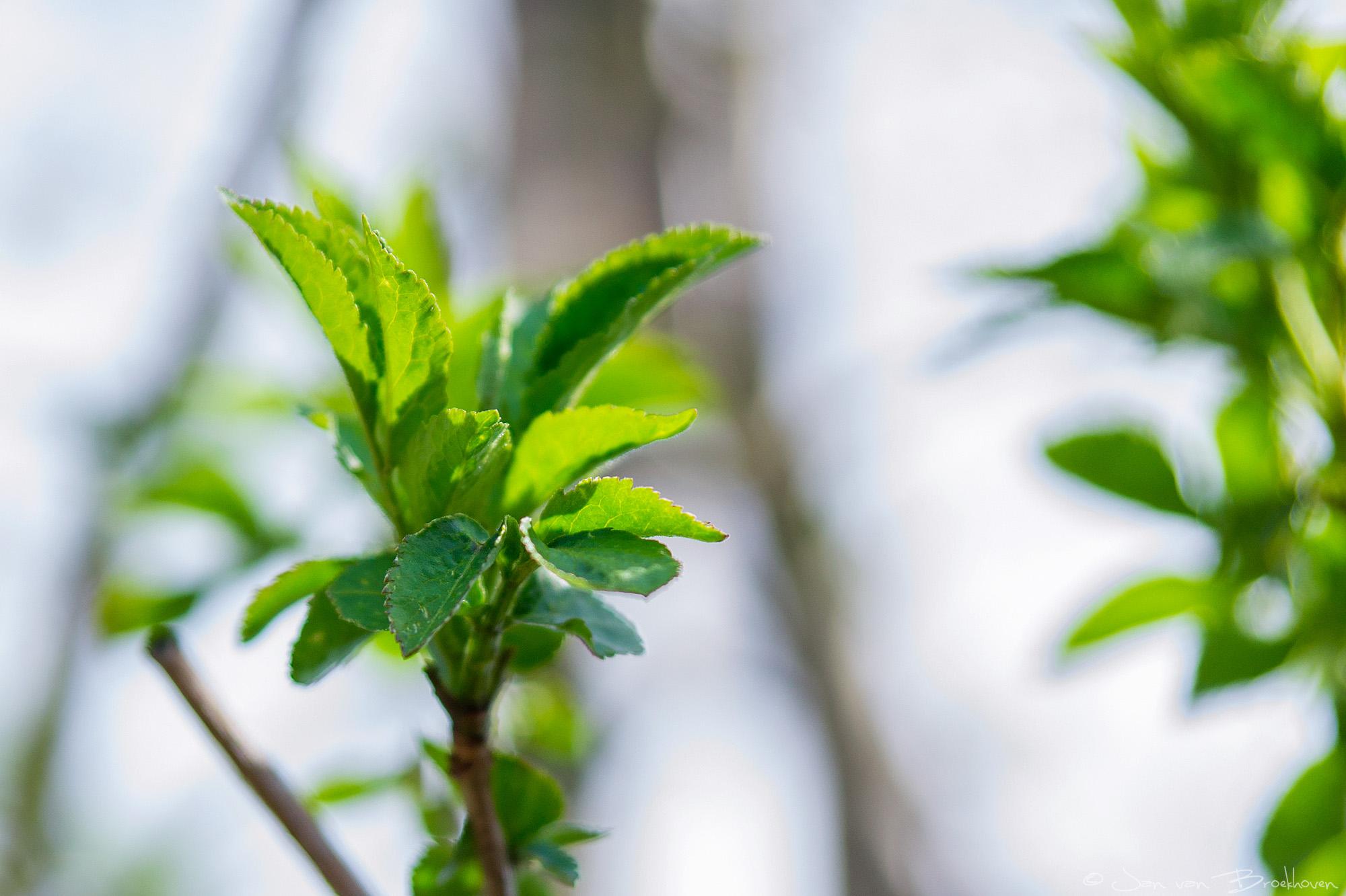 Voorjaar - groene blaadjes